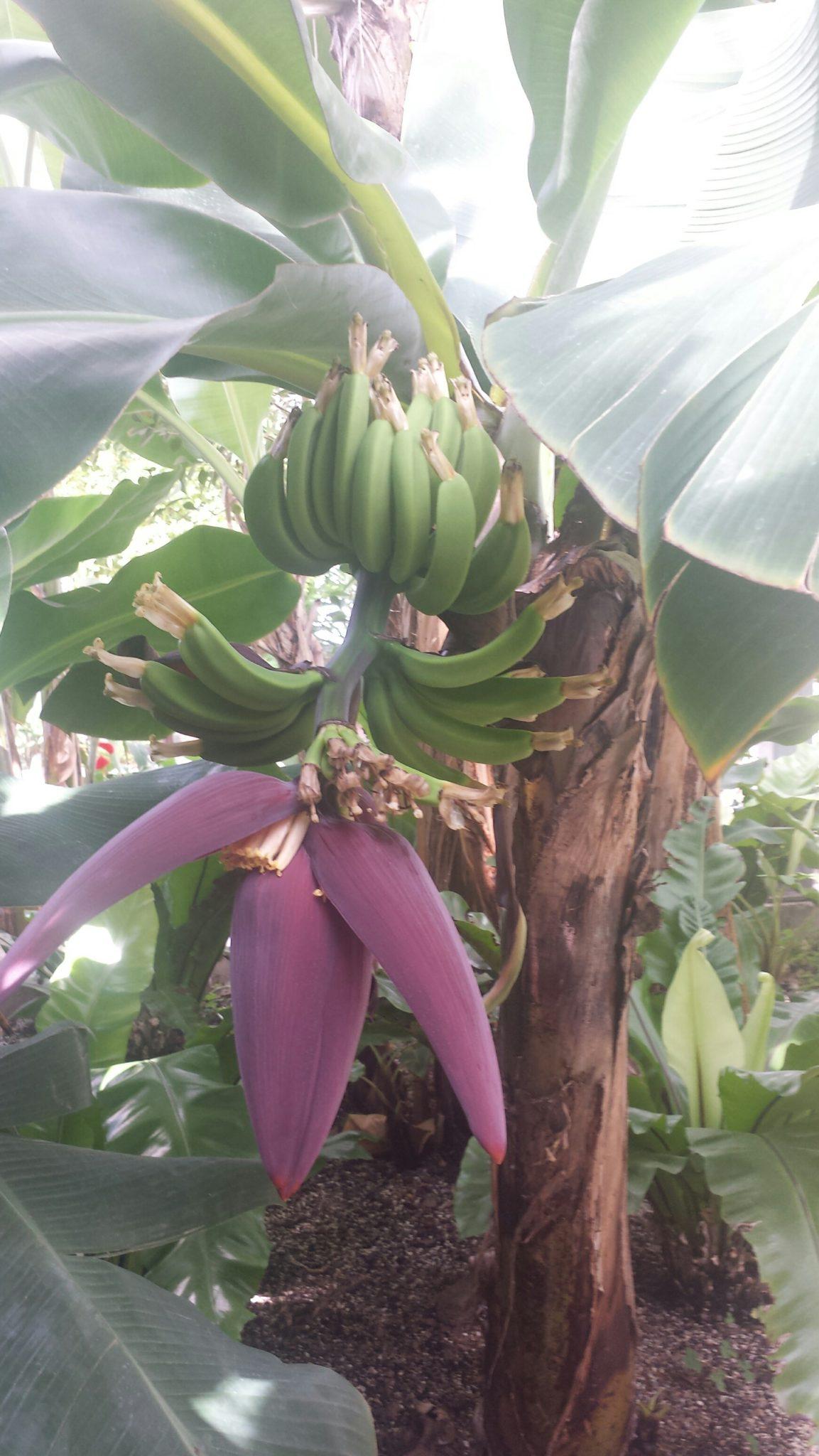 Banana Plant aquisition