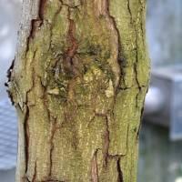 Conservatory Mahogony Bark