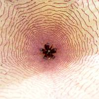 Sateium Blossom