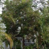 Conservatory Mahogony Tree