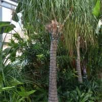 Conservatory Pony Tail Palm
