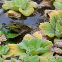 Frog in sea lettuce