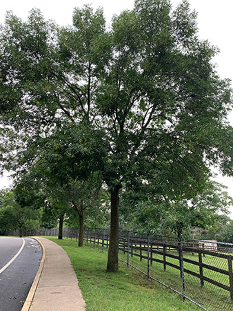 Example of an Ash Tree
