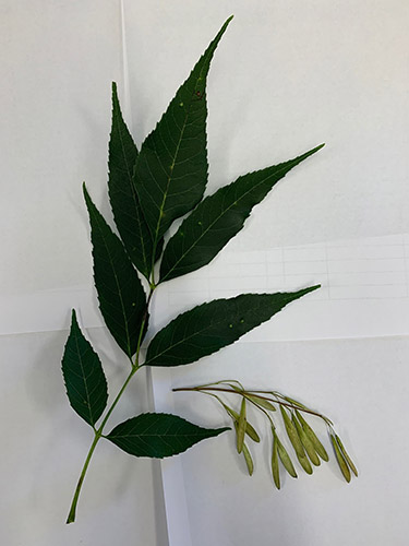 Example of Ash Tree Leaves