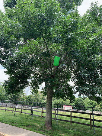 Example of an Emerald Ash Borer trap in an Ash Tree